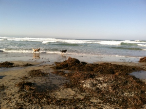 Bentley and Charlize retrieving in the surf.